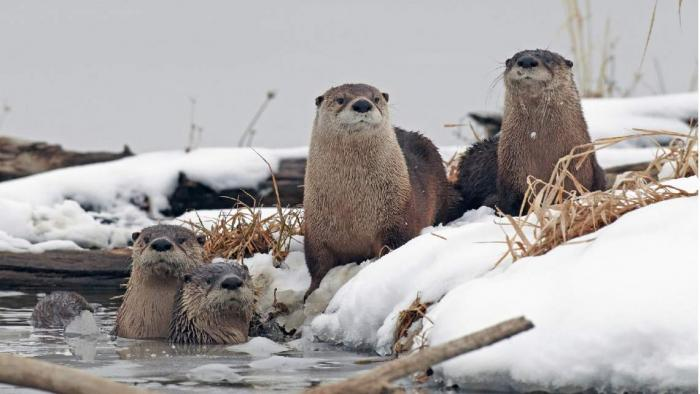 Photo of a group of river otters in the winter
