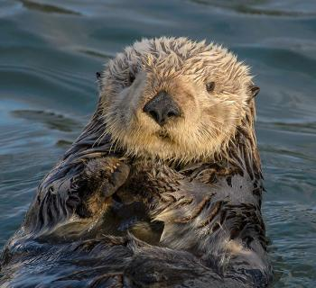 Photo of a sea otter in the water looking into the camera