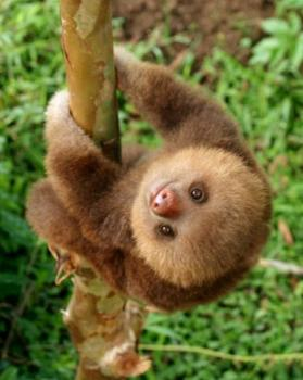 baby sloth pic