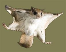 flying squirrel picture