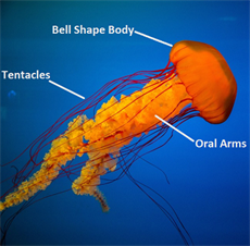 Anatomy of a jellyfish picture with labels