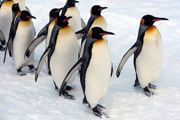 Group of penguins walking in the snow