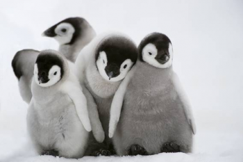 photo of baby penguins huddling together