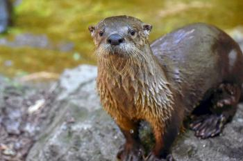 Photo of a river otter standing on a rock