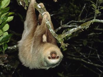 upside down sloth pic