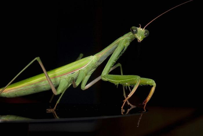 High definition photo of a praying mantis with a dark background