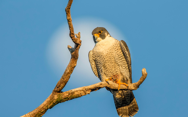 A Peregrin Falcon perched on a bare branch with the blue sky behind it