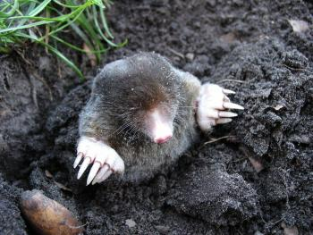 A photo of a star-nosed mole emerging from the dirt