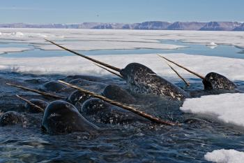 A pod of narwhals showing their tusks